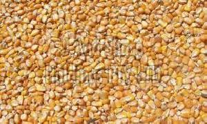 Dried Corn Seeds