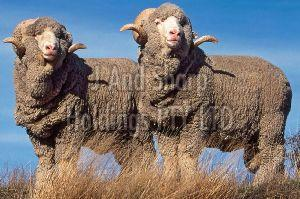 Live Merino Sheep