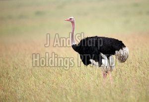 Live Ostrich Chicken