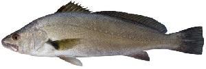 Frozen Whole Farmed Mulloway Jewfish