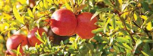 Fresh Pomegrannate  02