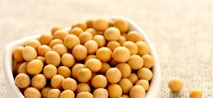 Soybean 04