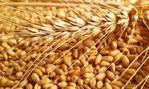 Wheat 04