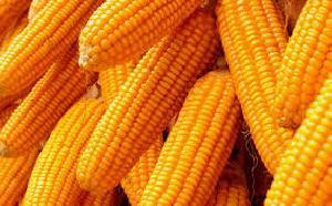 Yellow Corn 01