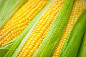 Yellow Corn 03