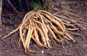 Dried Shatavari Roots 01.