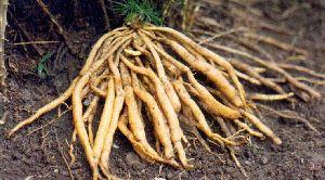 Dried Shatavari Roots 02
