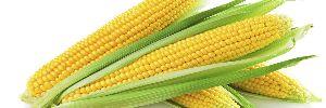 Sweet Corn 04