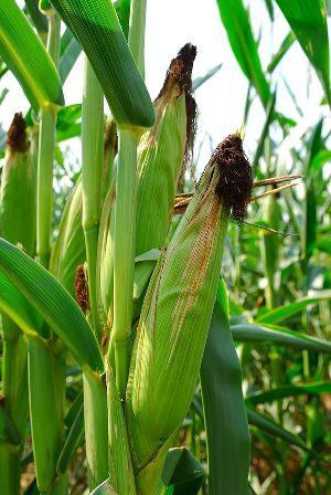 Sweet Corn 05