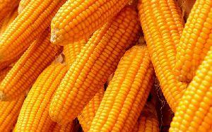 Sweet Corn 07