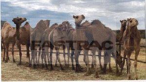 Camel Milk 02