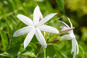 Natural Jasmine Essential Oil