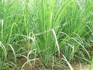 Natural Lemongrass Essential Oil