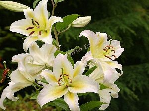 Natural Lily Essential Oil