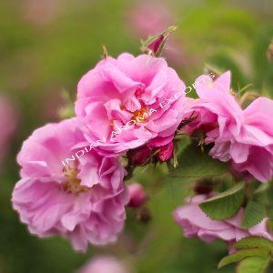Natural Rose Essential Oil