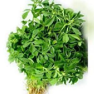 Fresh Fenugreek Leaves 02