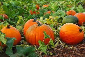 Fresh Pumpkin 01