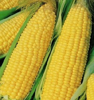 Whole Yellow Corn