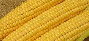 Yellow Maize 02