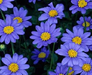 Blue Daisy Flowers