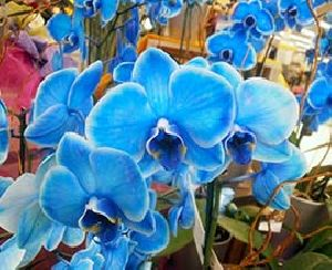 Blue Orchid Flowers