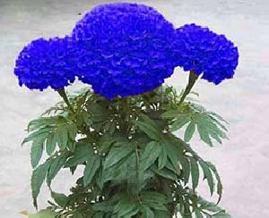 Blue Marigold Flowers