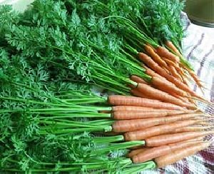 Carrot Leaves
