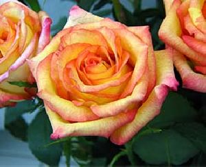 Confetti Rose Flowers