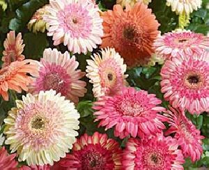 Double Color Gerbera