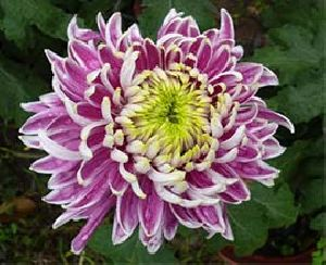 Double Colour Chrysanthemum