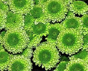 Green Button Chrysanthemum