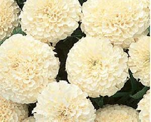 Exporter supplier of fresh marigold flowers in bangalore white marigold flowers mightylinksfo