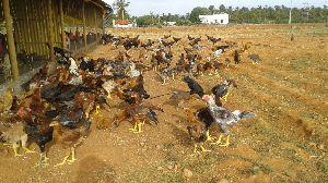 Live Chicken 03
