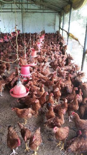 Live Chicken 05