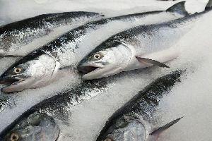 Frozen Salmon Fish Fillets