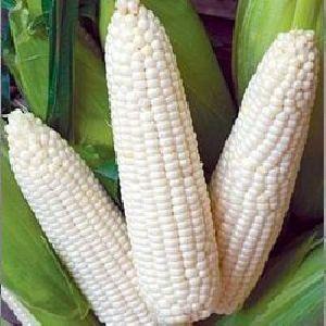 Whole White Corn