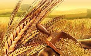 Wheat Seeds 02