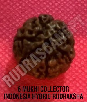 6 Mukhi Collector Indonesia Hybrid Rudraksha