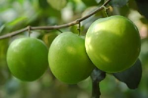 Thai Apple Plum