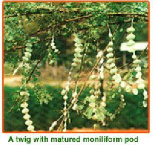 Acacia Nilotica Seeds 01