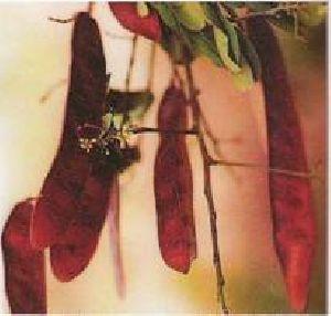 Albizzia Odoratissima Seeds 01