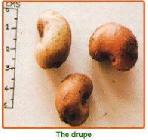 Anacardium Occidentale Seeds 02