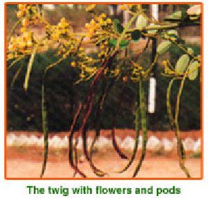 Cassia Siamea Seeds 01