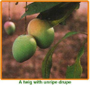 Mangifera Indica Seeds 01