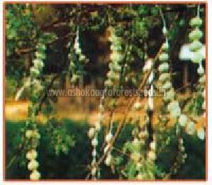 Acacia Nilotica Plant