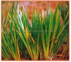 Acorus Calamus Plant