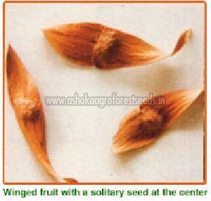 Ailanthus Excelsa Seeds