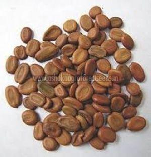Albizia Procera Seeds