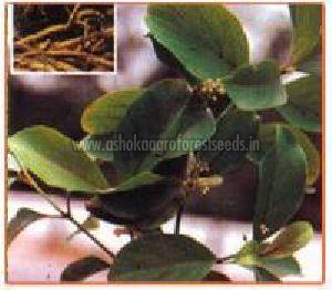 Decalepis Hamiltonii Plant