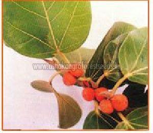 Ficus Benghalensis Seeds